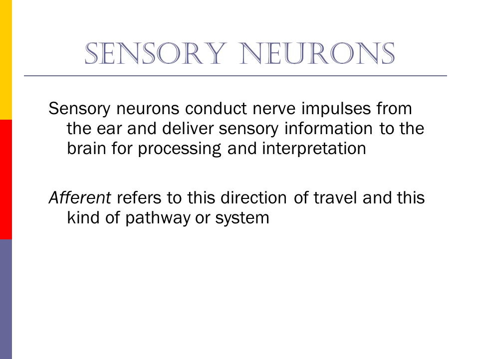 Sensory neurons Sensory neurons conduct nerve impulses from the ear and deliver sensory information to the brain for processing and interpretation.