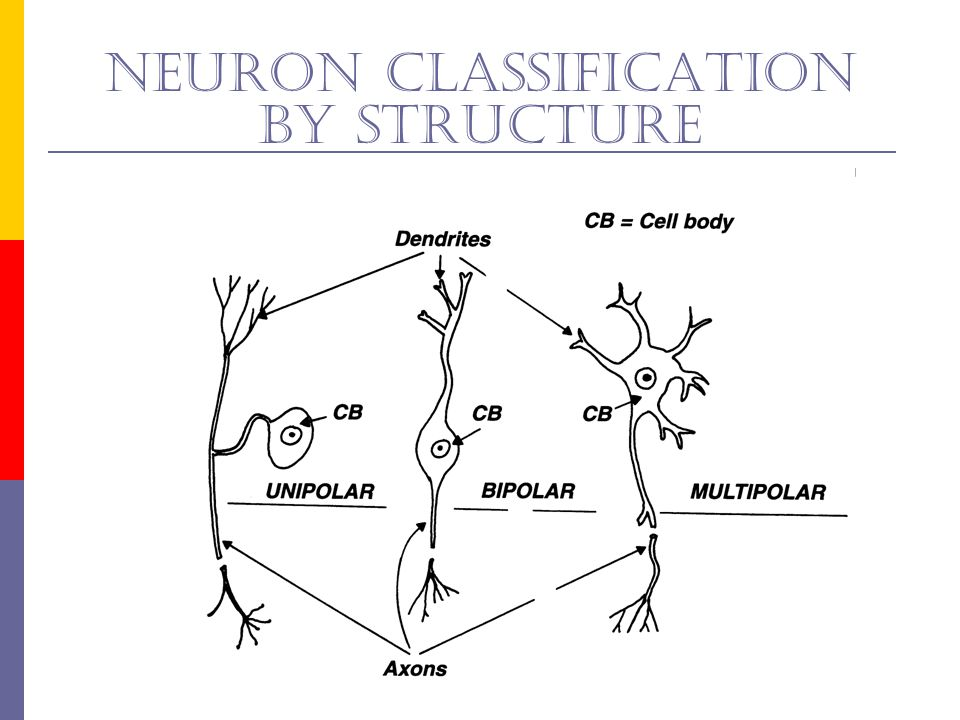 Neuron classification by structure