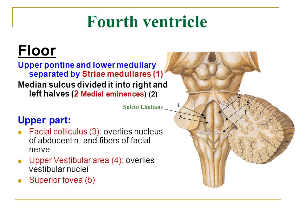 Brain stem ppt video online download for Floor of 4th ventricle