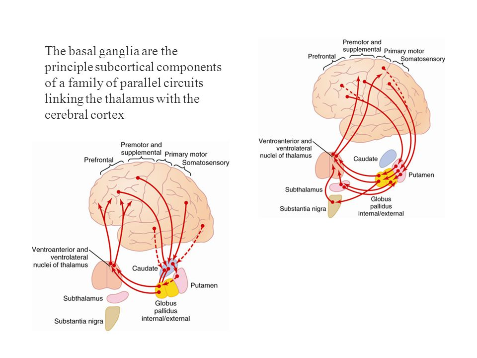 The basal ganglia are the
