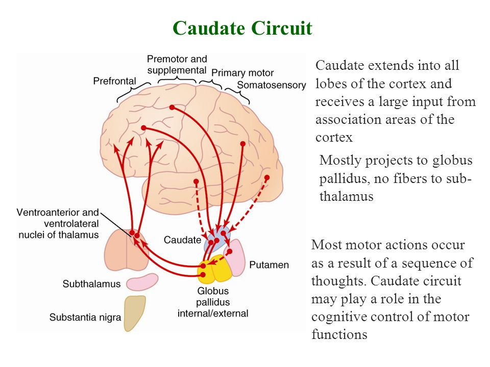 Caudate Circuit Caudate extends into all lobes of the cortex and receives a large input from association areas of the cortex.