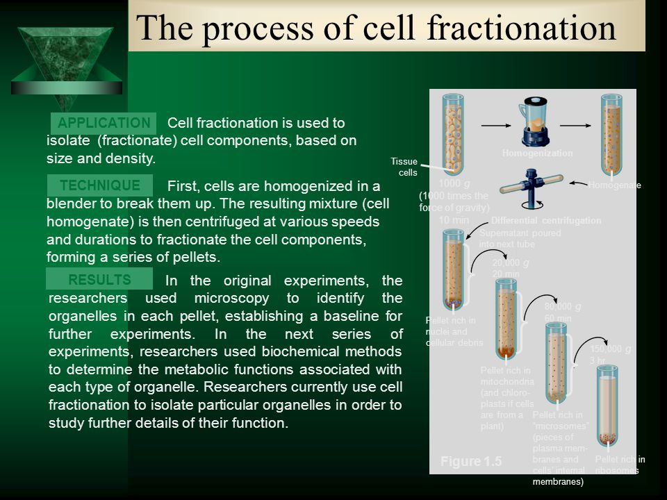 cellular fractionation experiment Basic experiments structure, isolation, and function of dna (b1) experiments (click to expand) properties of dna (b1-1) cell fractionation and dna isolation (b1-2) gene function and cloning in bacteria.