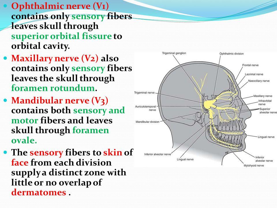 The Trigeminal Nerve Dr. Nimir Dr. Safaa. The Trigeminal ...