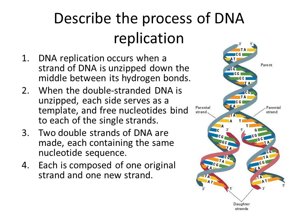 Dna structure and replication ppt video online download for Explain how dna serves as its own template during replication