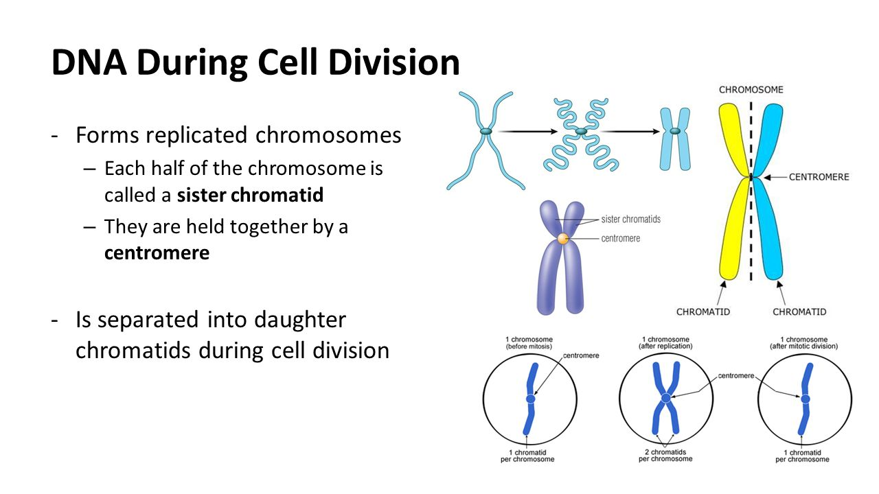 Non-random positioning of chromosomes in human sperm nuclei