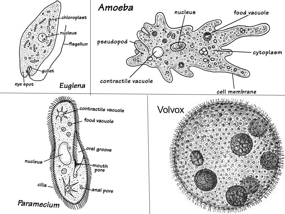 protists 4  euglena  amoeba  paramecium  volvox