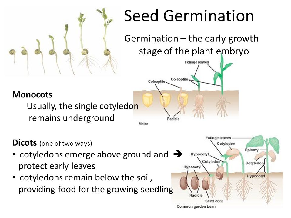 seed germination essay Does the aromatic substance from garlic have suppressing consequence on the sprouting and growing of the boodle seeds this is the inquiry that was put as the base of our research lab experiment.