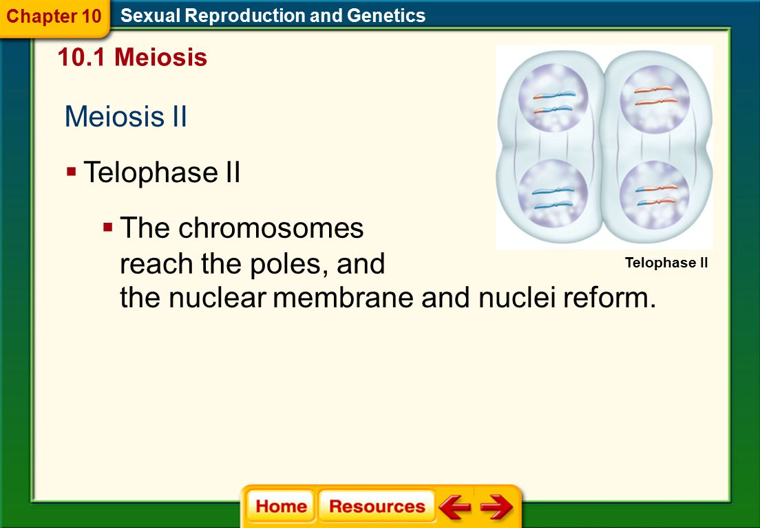 The chromosomes reach the poles, and