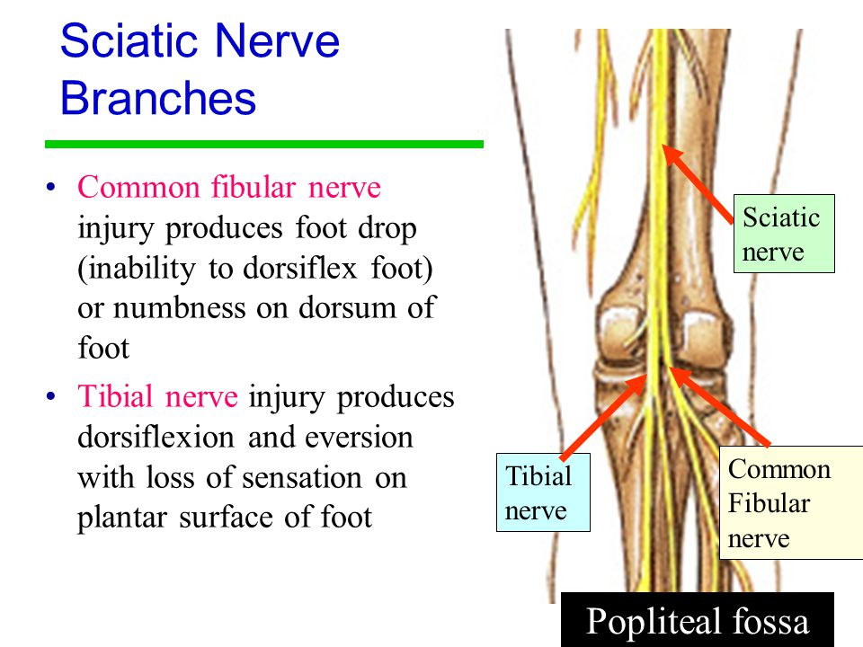 an overview of the sciatic nerve and its function