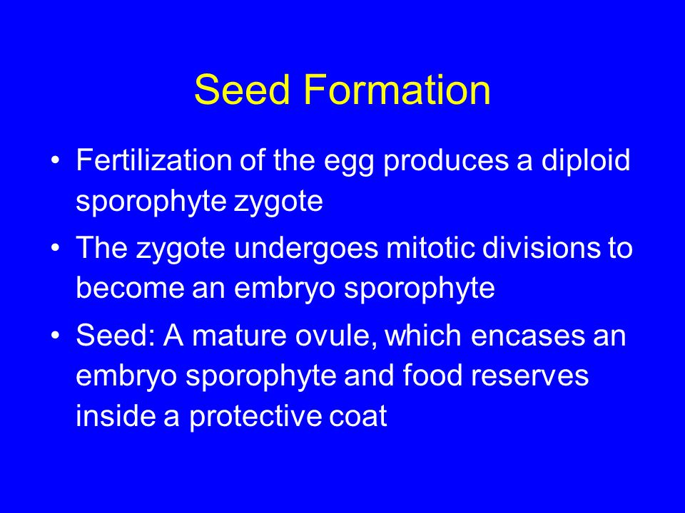 Seed Formation Fertilization of the egg produces a diploid sporophyte zygote. The zygote undergoes mitotic divisions to become an embryo sporophyte.