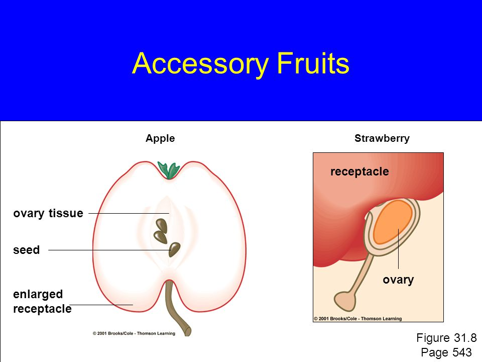 Accessory Fruits receptacle ovary tissue seed ovary enlarged