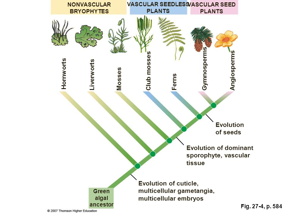 evolutionary relationship between plants and green algae