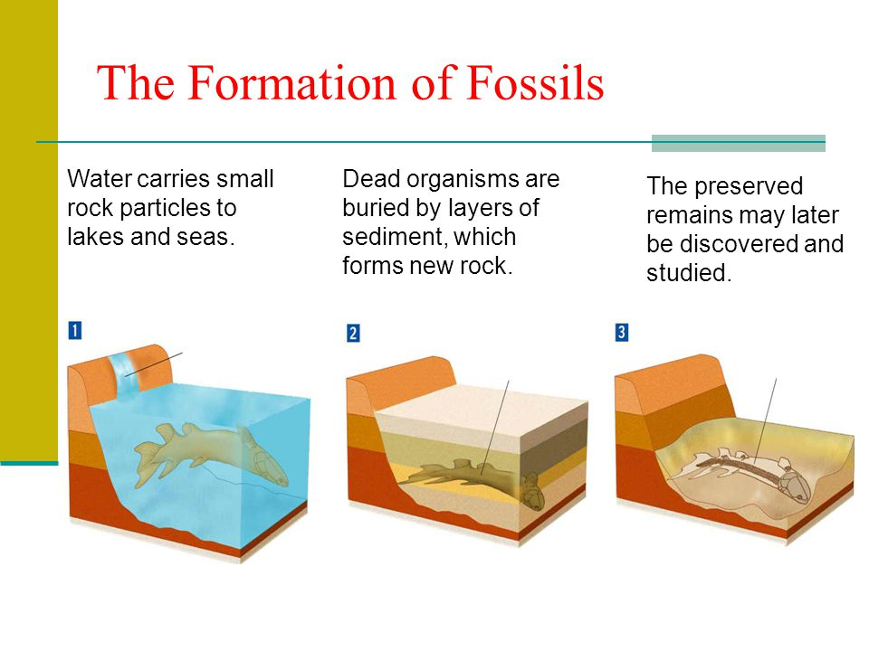 fill in the flowchart to explain how fossils are formed