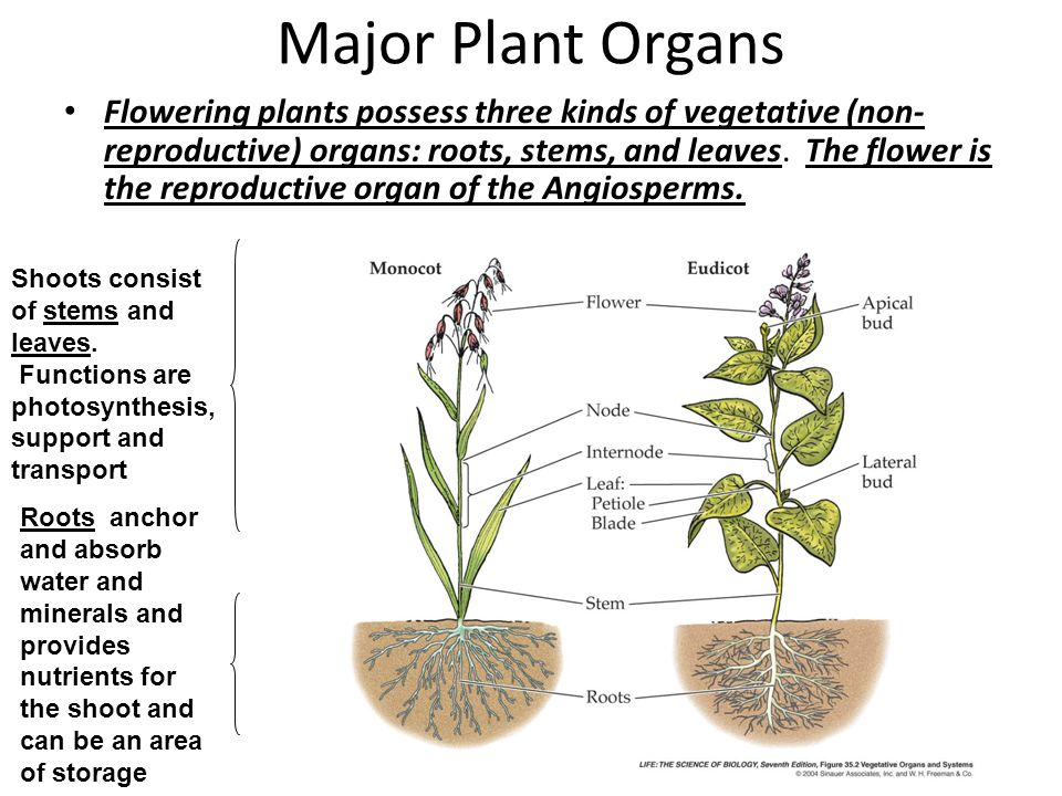 Objectives list and describe the major plant organs their major plant organs ccuart Image collections