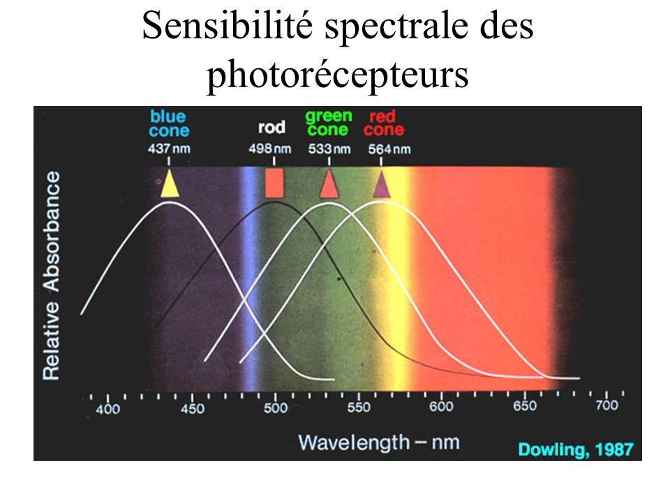 Sensibilité spectrale des photorécepteurs