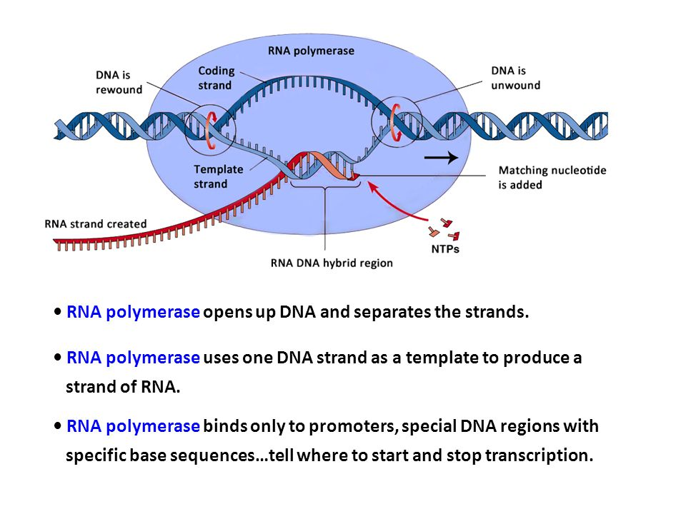 • RNA polymerase opens up DNA and separates the strands.