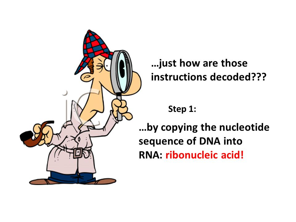 …by copying the nucleotide sequence of DNA into RNA: ribonucleic acid!