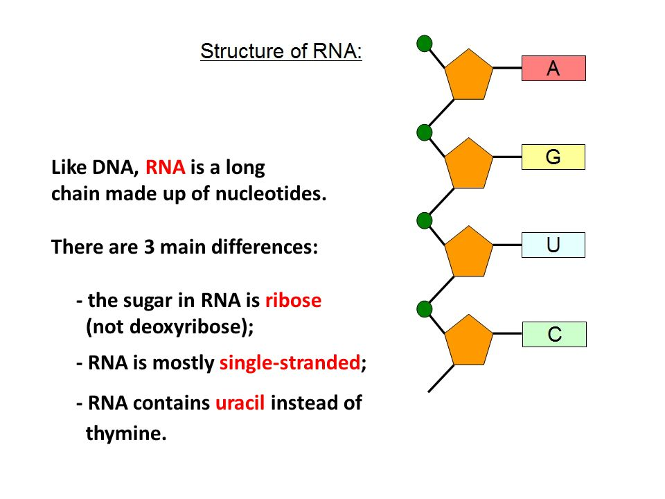 Like DNA, RNA is a long chain made up of nucleotides. There are 3 main differences: - the sugar in RNA is ribose.