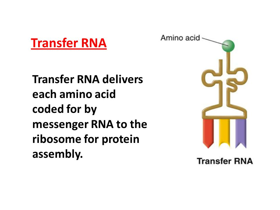 Transfer RNA Transfer RNA delivers each amino acid coded for by messenger RNA to the ribosome for protein.