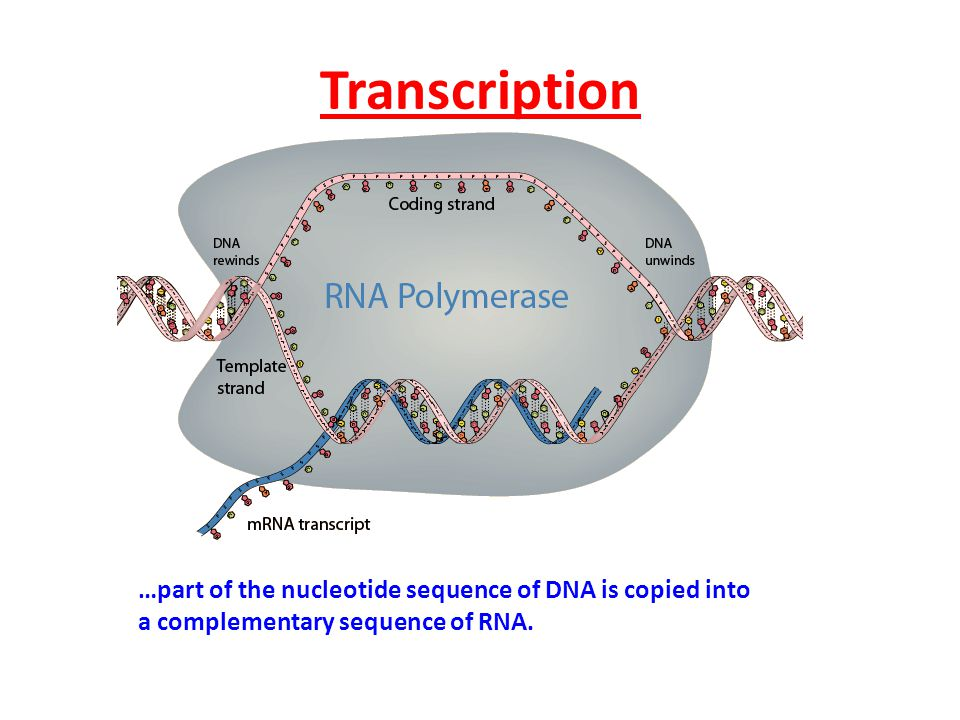 Transcription …part of the nucleotide sequence of DNA is copied into