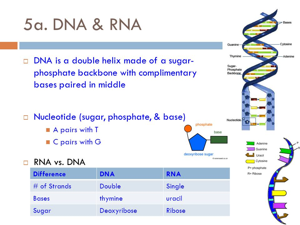 Blueprint of life standard 5a c ppt video online download dna rna dna is a double helix made of a sugar phosphate malvernweather Images