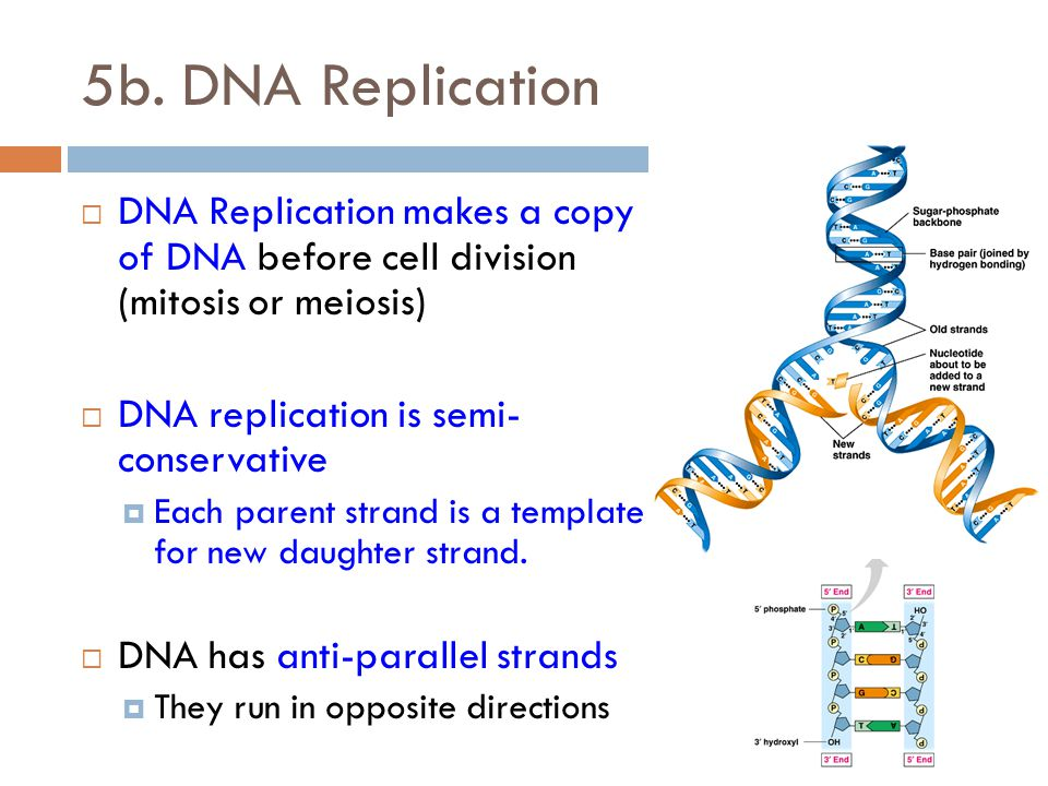 Blueprint of life standard 5a c ppt video online download dna replication dna replication makes a copy of dna before cell division mitosis malvernweather Images