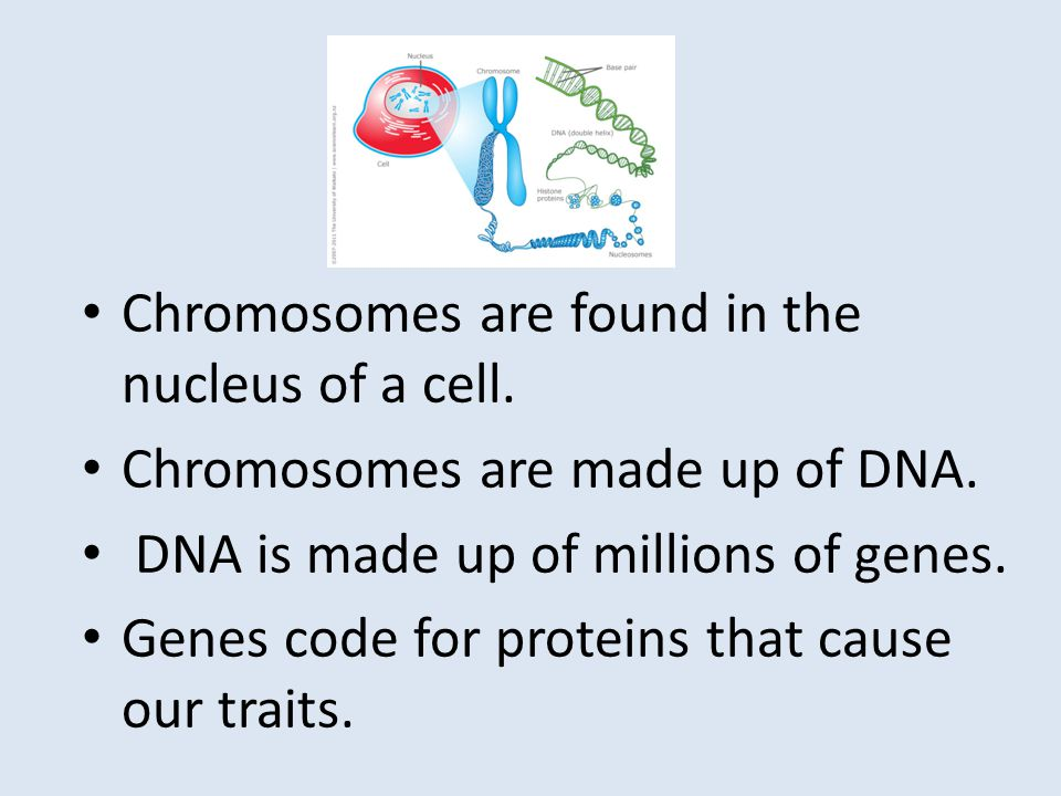 Chromosomes are found in the nucleus of a cell.