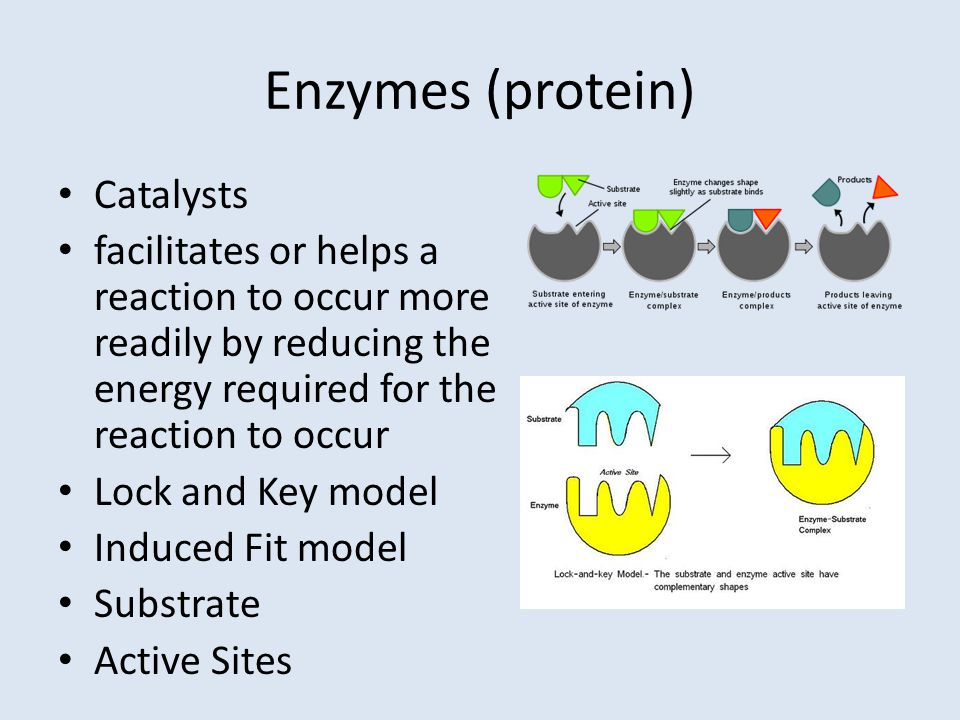 Enzymes (protein) Catalysts