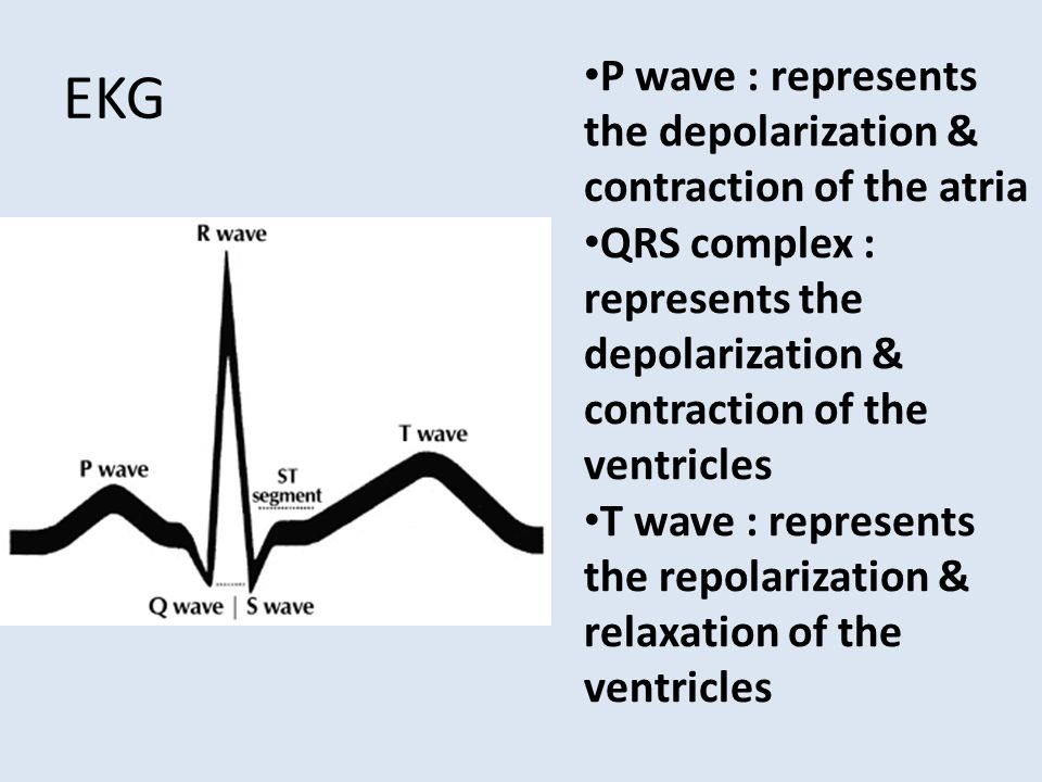 EKG P wave : represents the depolarization & contraction of the atria