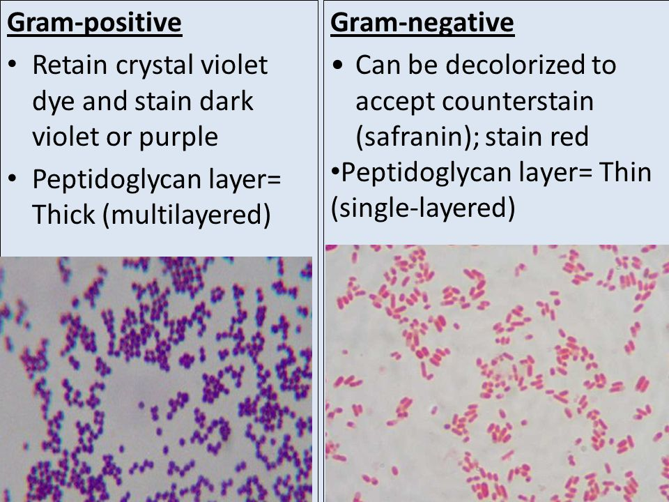 Gram-positive Retain crystal violet dye and stain dark violet or purple. Peptidoglycan layer= Thick (multilayered)