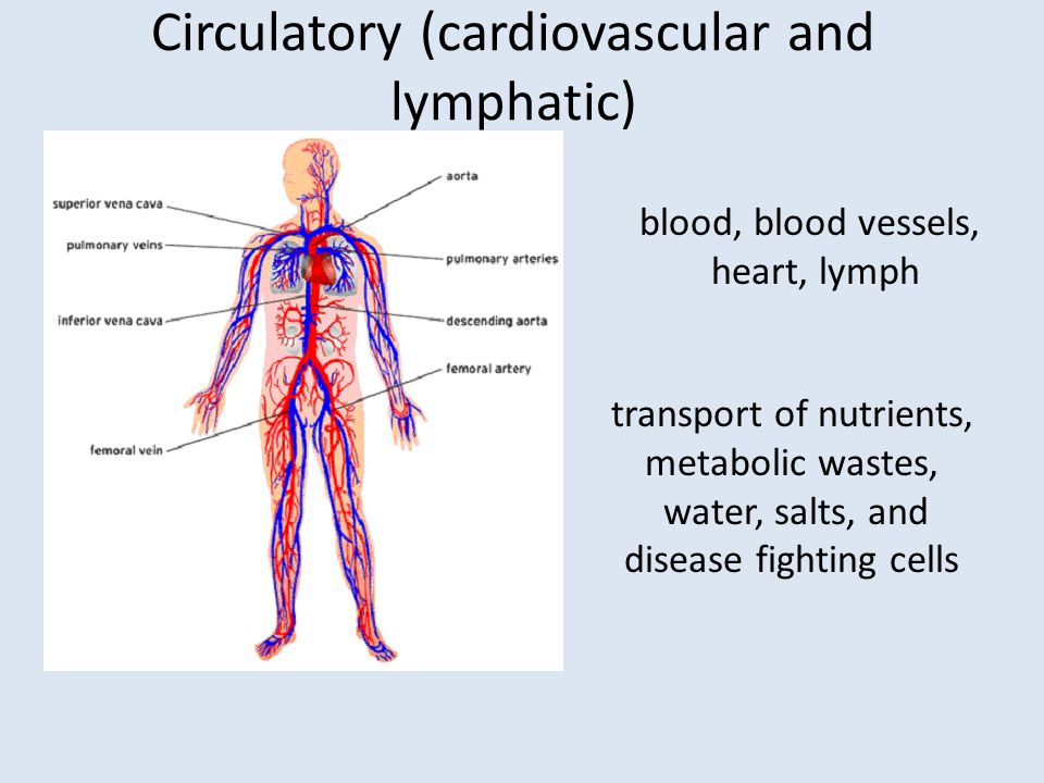Circulatory (cardiovascular and lymphatic)