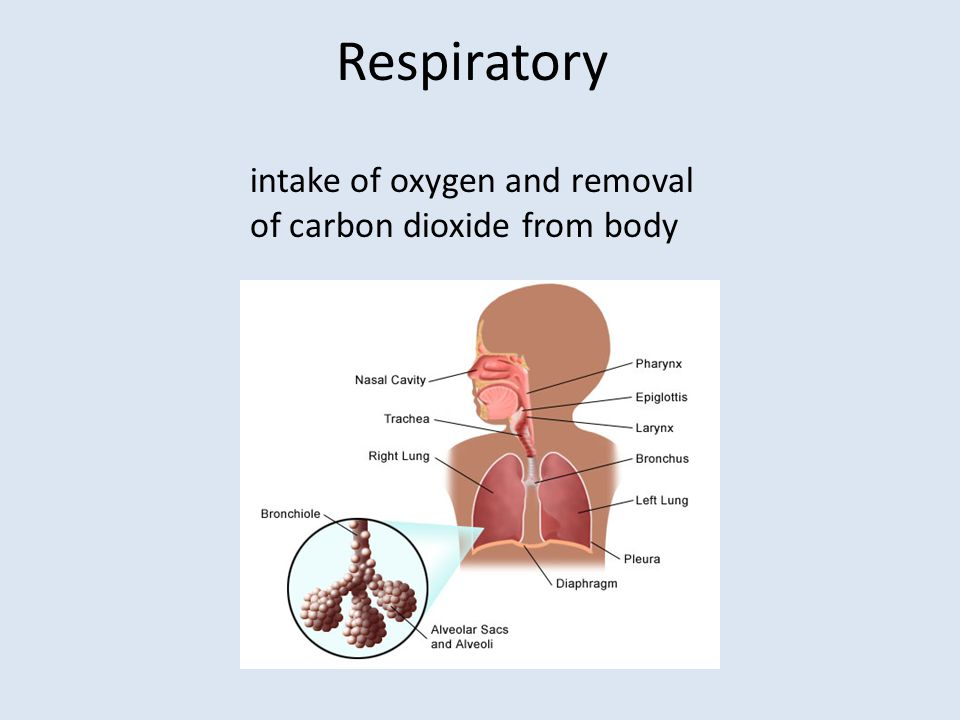Respiratory intake of oxygen and removal of carbon dioxide from body