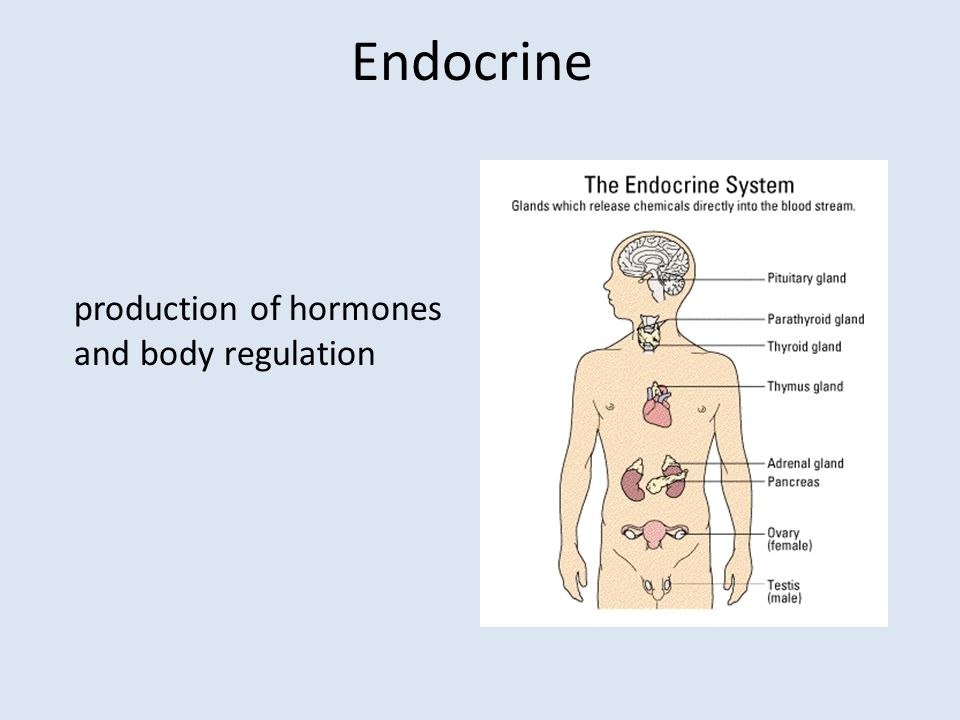 Endocrine production of hormones and body regulation