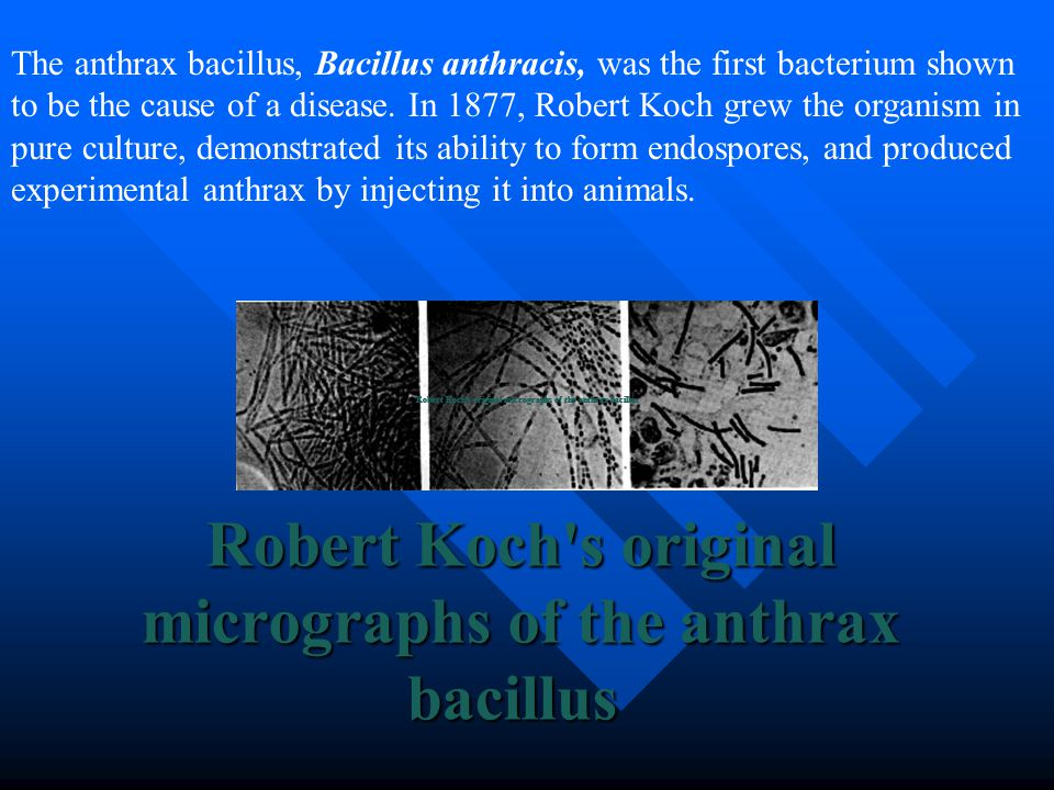 an overview of bacillus anthracis by robert koch in 1877 Significant events in microbiology 1861  begruendent auf die entwicklungsgeschichte des bacillus anthracis  robert koch isolates the tubercule bacillus,.