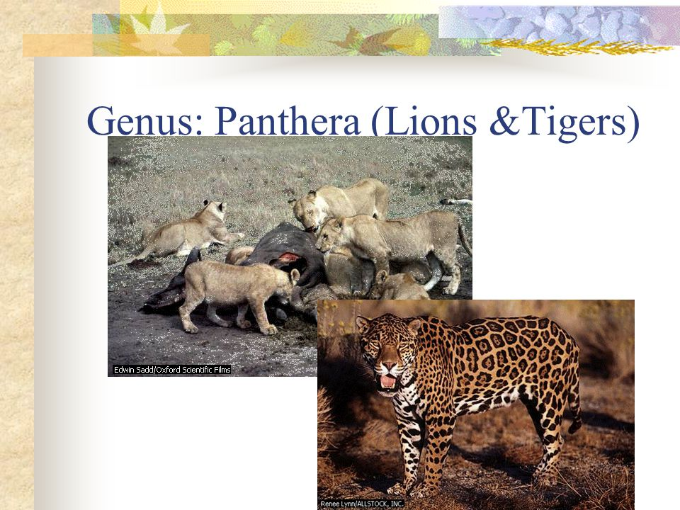 Genus: Panthera (Lions &Tigers)