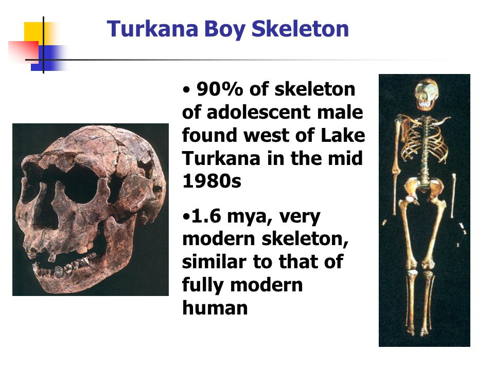 Turkana Boy Skeleton 90% of skeleton of adolescent male found west of Lake Turkana in the mid 1980s.