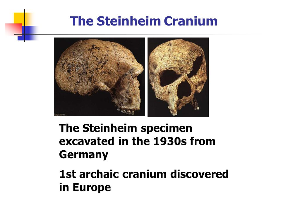 The Steinheim Cranium The Steinheim specimen excavated in the 1930s from Germany.