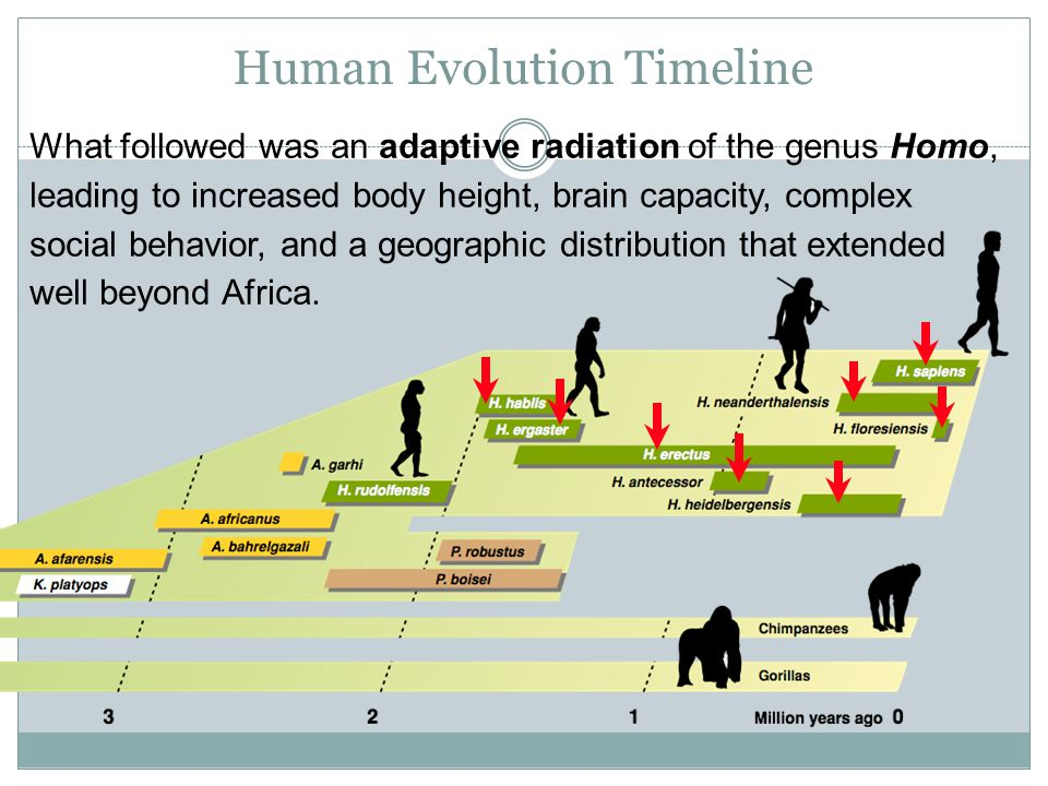Hominid Evolution Timeline Physical Evolution of ...