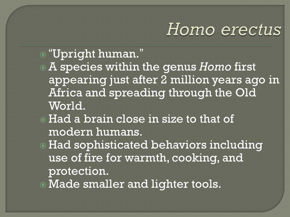 Homo erectus Upright human.