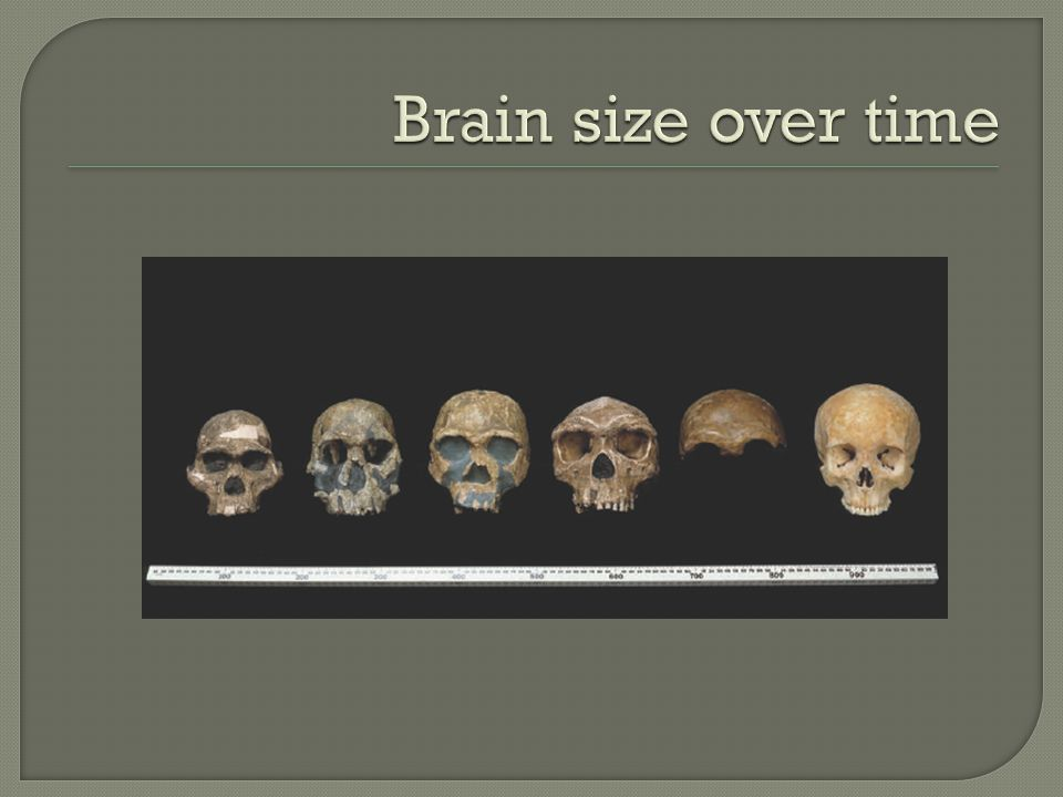 Brain size over time