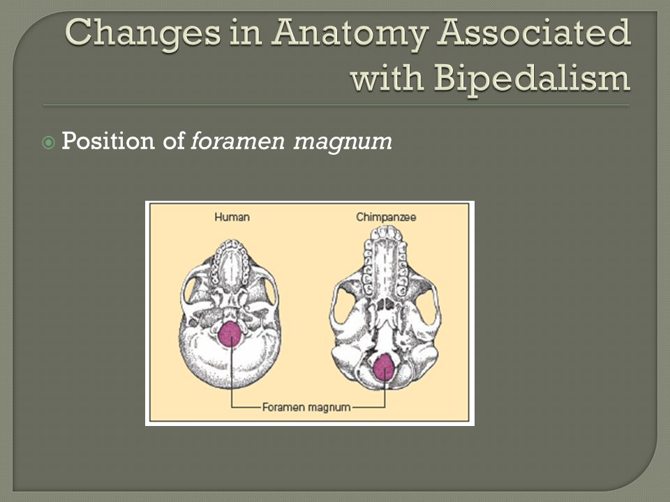 Changes in Anatomy Associated with Bipedalism