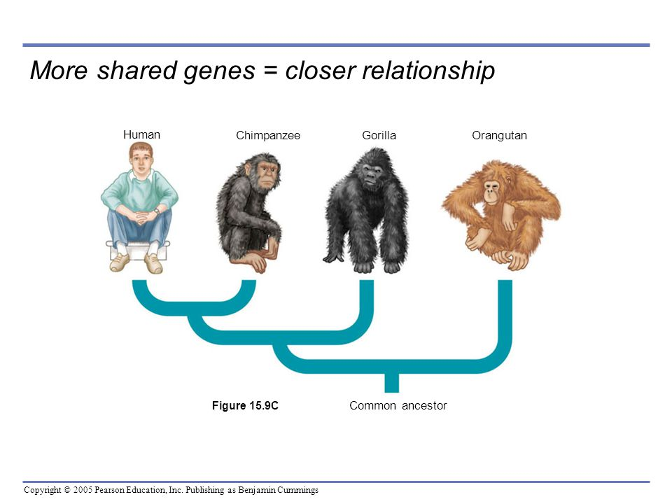 More shared genes = closer relationship