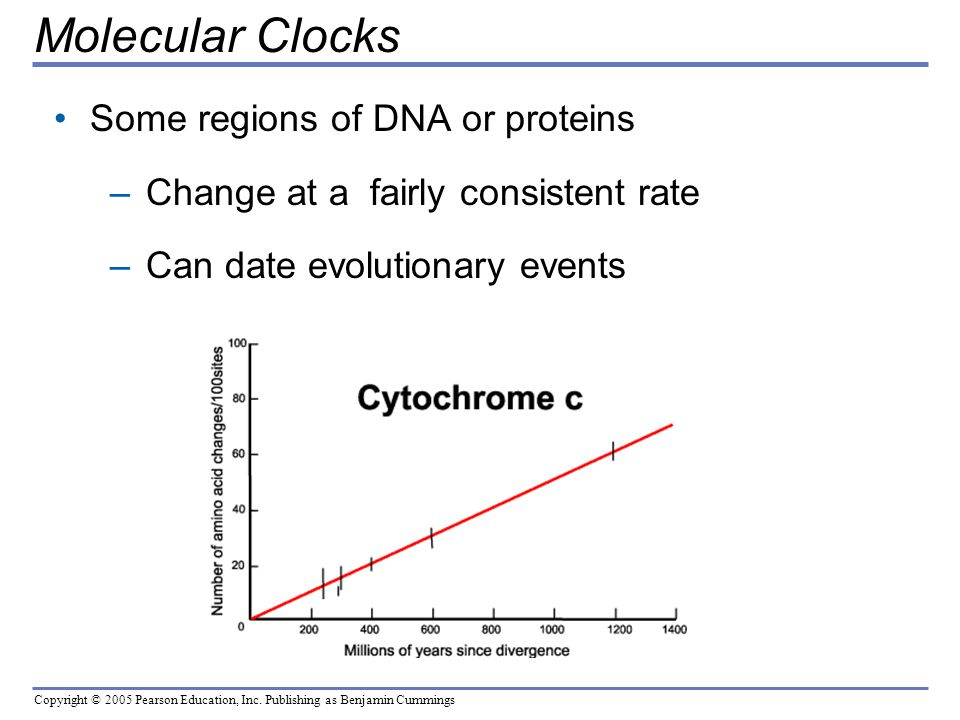 Molecular Clocks Some regions of DNA or proteins