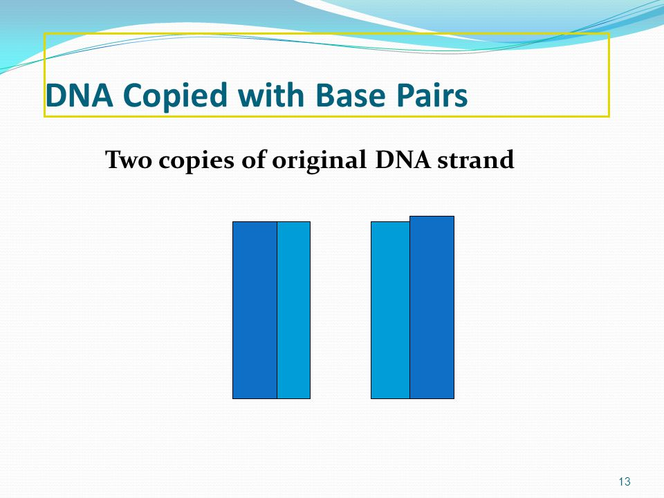 DNA Copied with Base Pairs