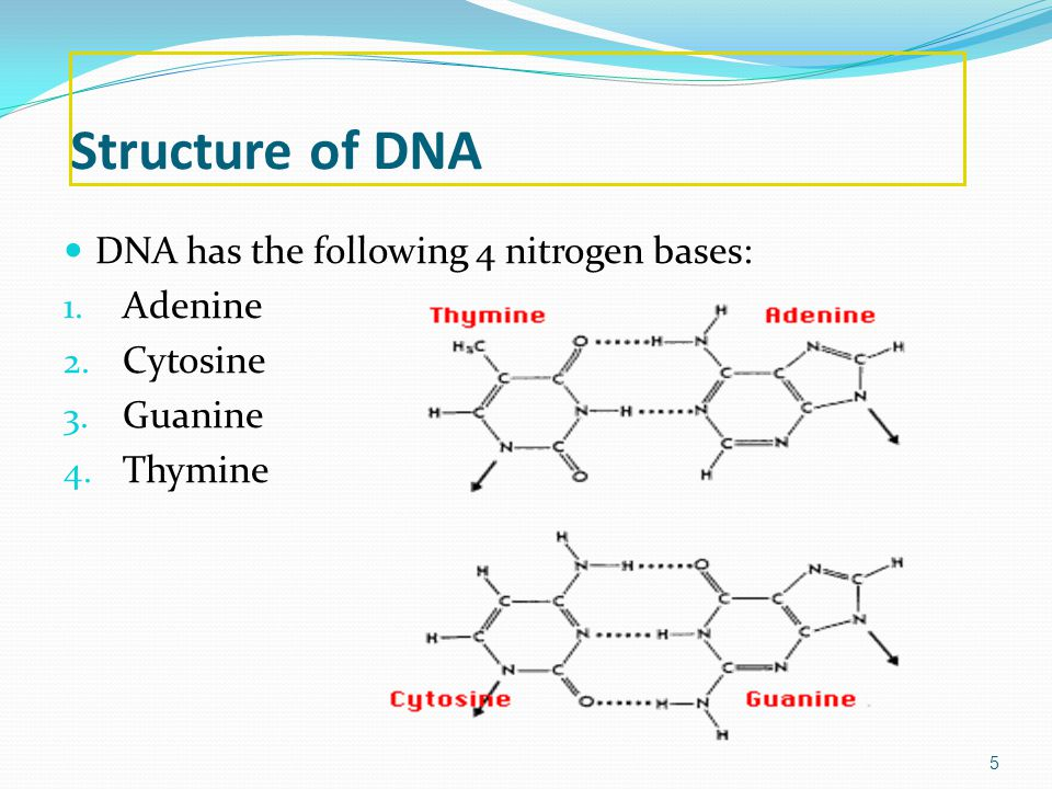 Structure of DNA DNA has the following 4 nitrogen bases: Adenine