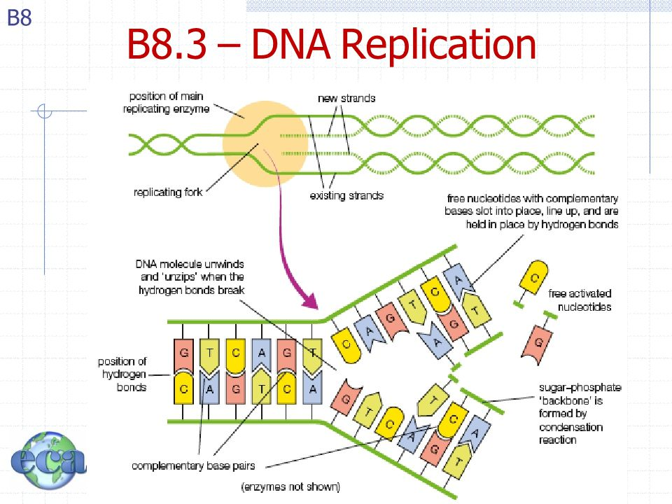 Topic b part 8 nucleic acids ib chemistry topic b for Explain how dna serves as its own template during replication