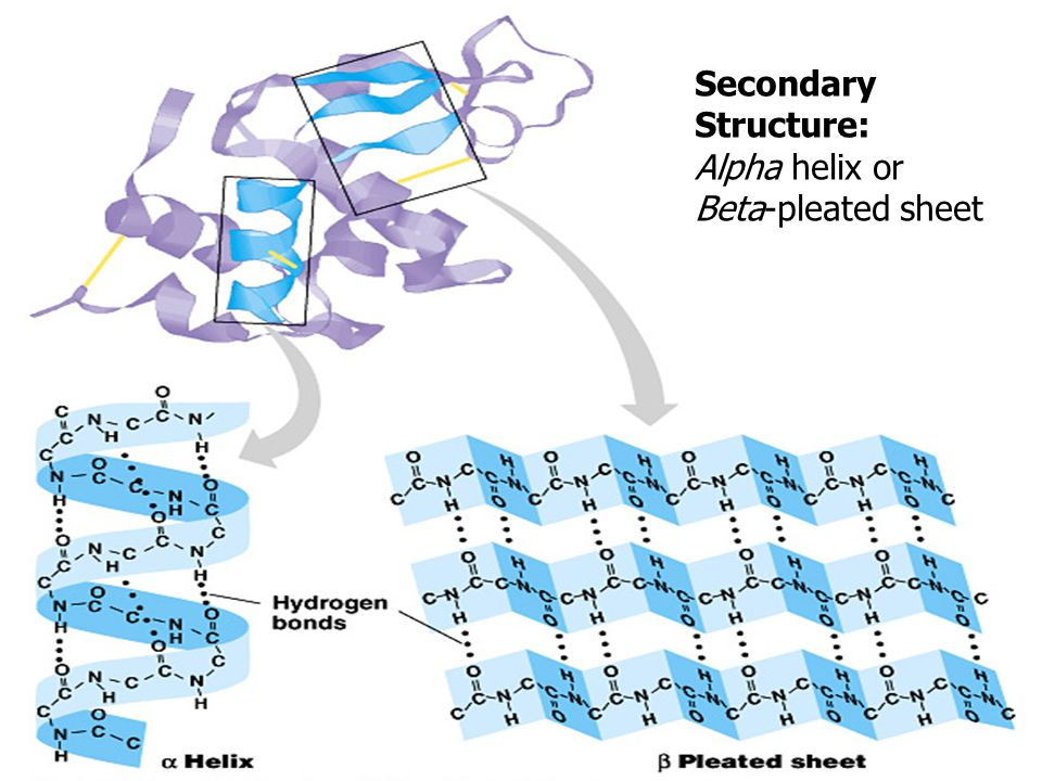 Alpha Helix And Beta Pleated Sheet Ch. 5 Macromolecules: ...