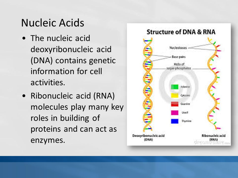 Nucleic Acids The nucleic acid deoxyribonucleic acid (DNA) contains genetic information for cell activities.