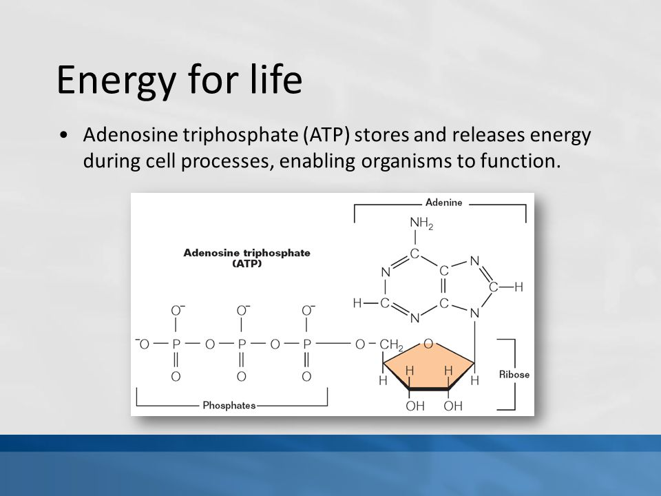 Energy for life Adenosine triphosphate (ATP) stores and releases energy during cell processes, enabling organisms to function.