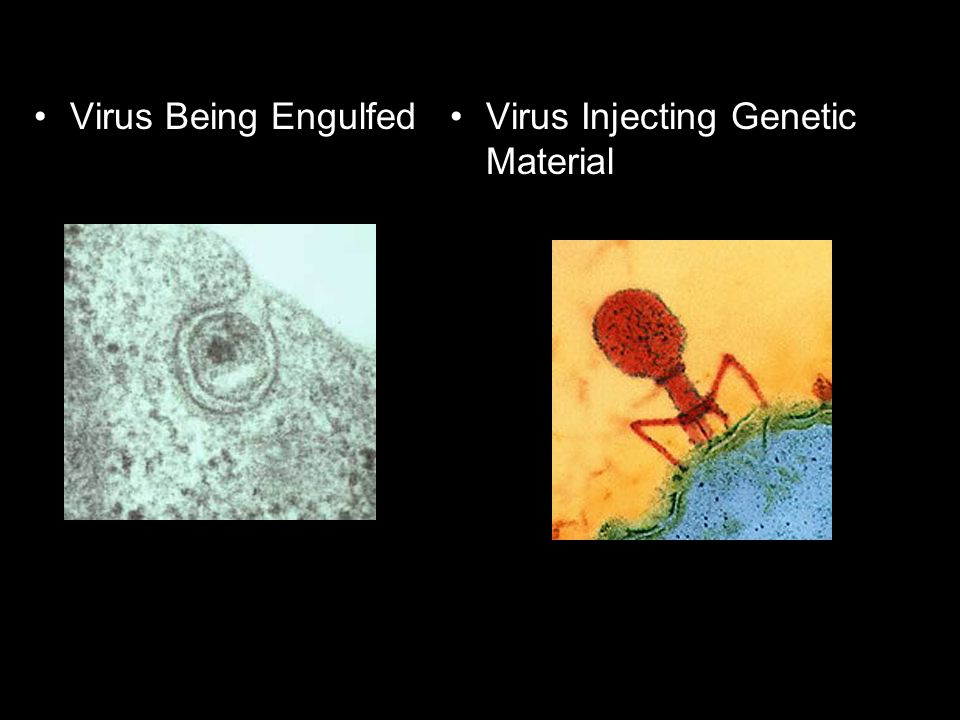 Virus Being Engulfed Virus Injecting Genetic Material